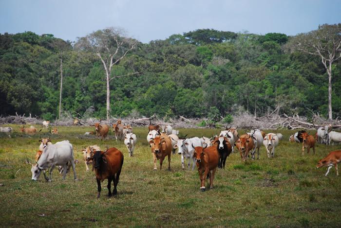 paturage-issu-de-deforestation