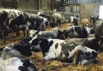 vache-laitiere-climat-lait-pluie-paturage-intemperie