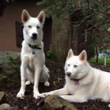 Save a Husky and Save Yourself —  Siberian Husky Rescue of Florida Will Help You Find A Forever Friend!