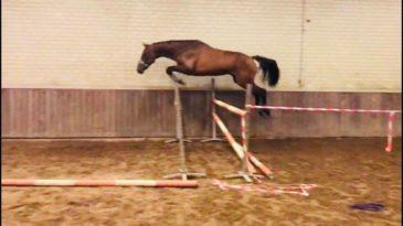 Kavel 38: Goed springende 2 jarige hengst