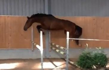 Kavel 21: 4 jarige ruin Irish Sport Horse(ISH)