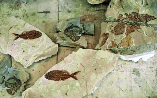 bolca-fossili