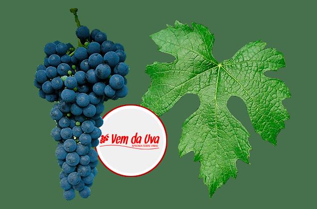 Ancellotta: características do vinho