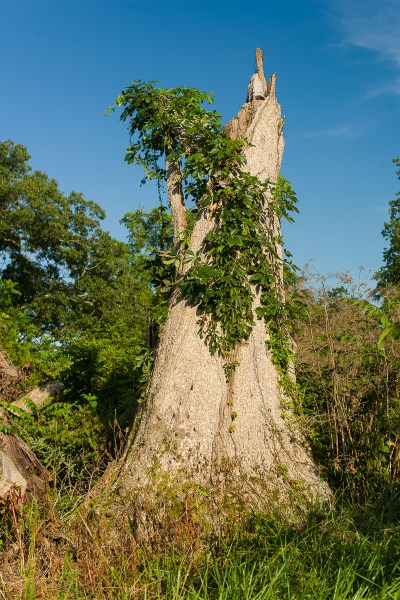 Picture of a dead chinkapin oak