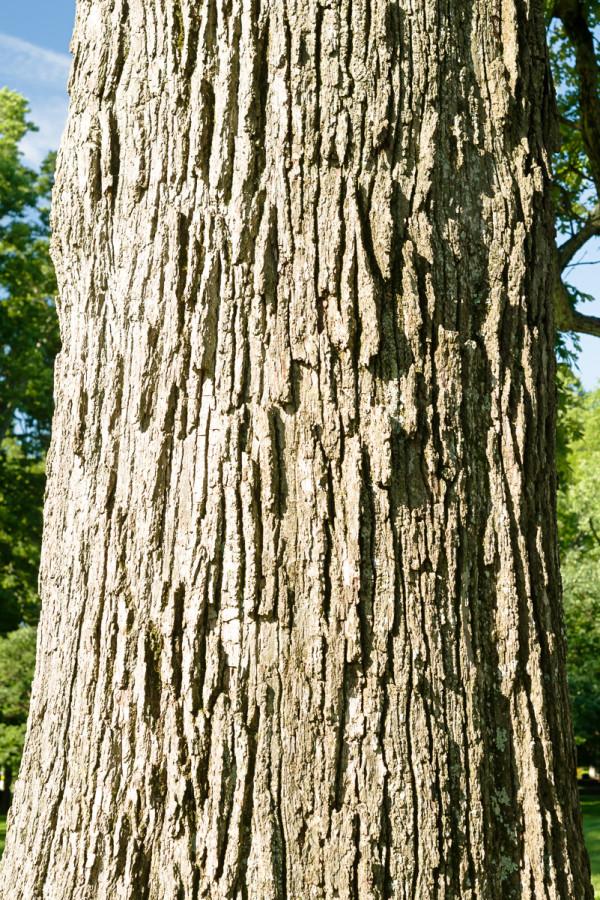 Bur oak stem