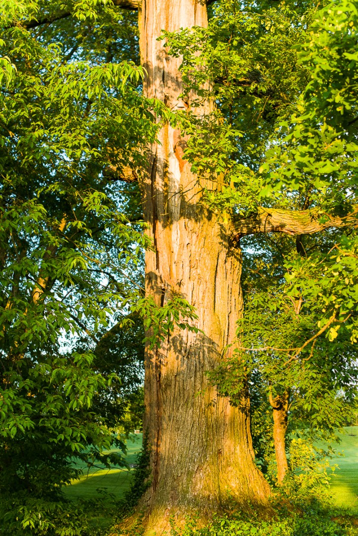 Bur oak with deep lightning scars