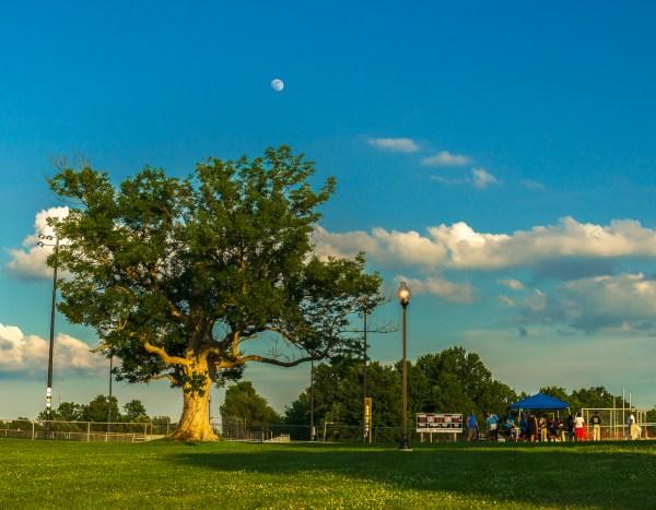 Blue ash in Casltwood Park.