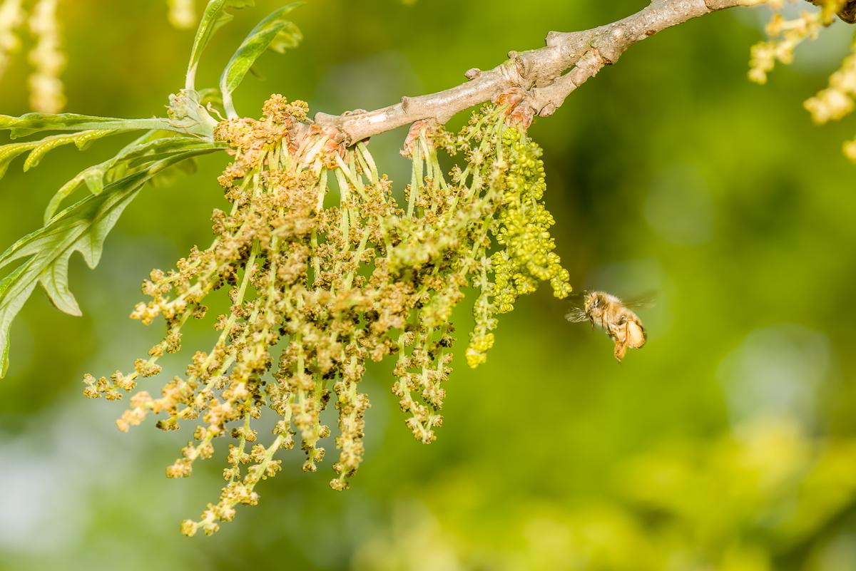 Bees on male bur oak flowers
