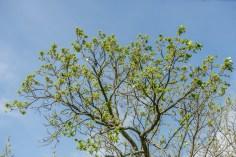 Leaves of bur oak