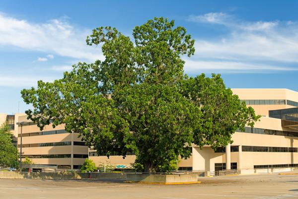 The St. Joe's Oak