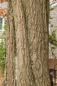 stem of oak