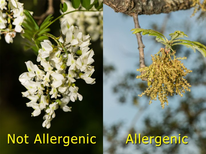 Showy flowers do not cause allergies
