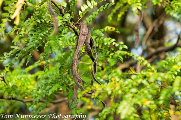 Honeylocust fruit