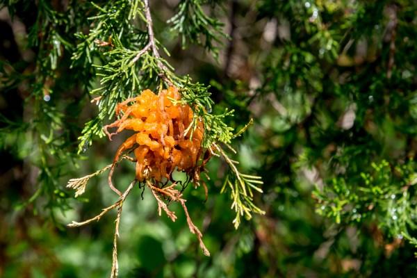 Telial spore horns of cedar-apple rust