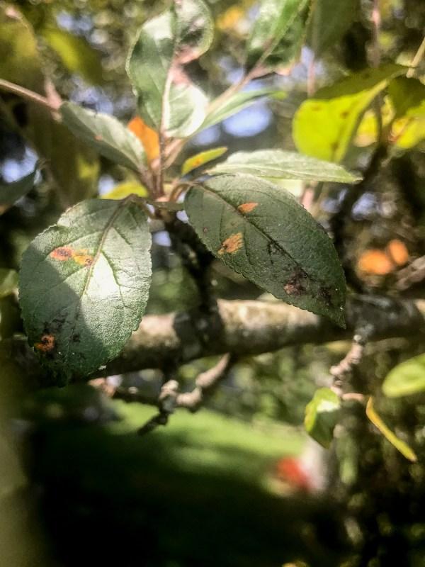 cedar-apple rust on apple