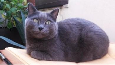 Smarrito il gatto certosino Leone a Venezia