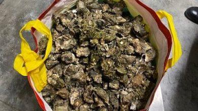 Cavallino Treporti: pescatori sportivi sorpresi con 150 kg di ostriche - Televenezia