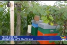 Rovigo, Porto Viro: api felici tra luffa e zafferano