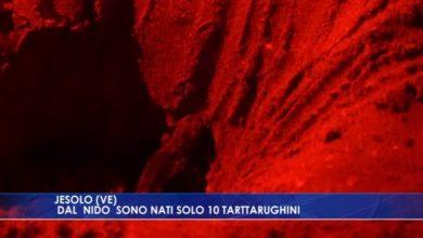 Jesolo: solo 10 tartarughini nati dalle uova - TeleVenezia