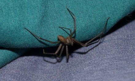 Amputarán pie a bebé mordido por araña violinista