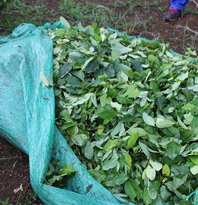 Cultivo de coca en Putumayo