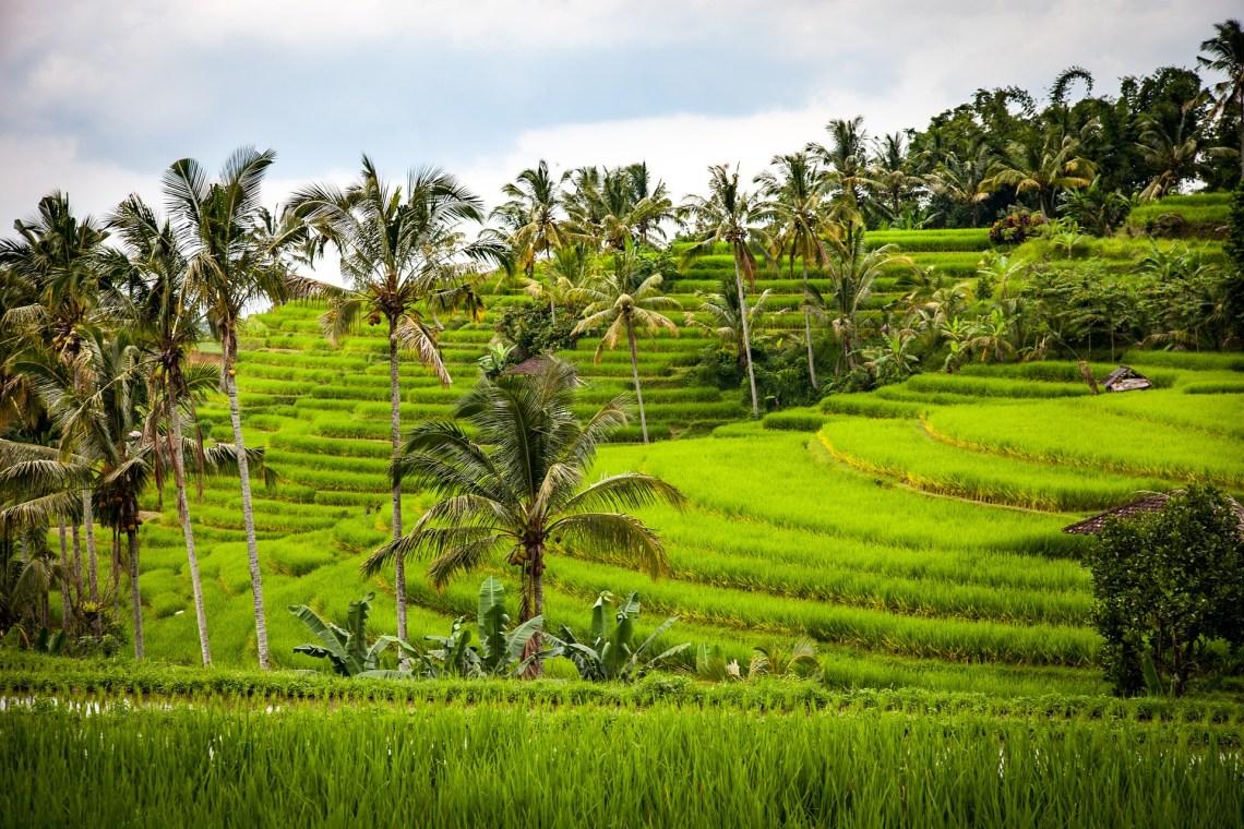 Campos de arroz en Asia