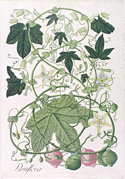 Celestino Mutis - grabado botanico
