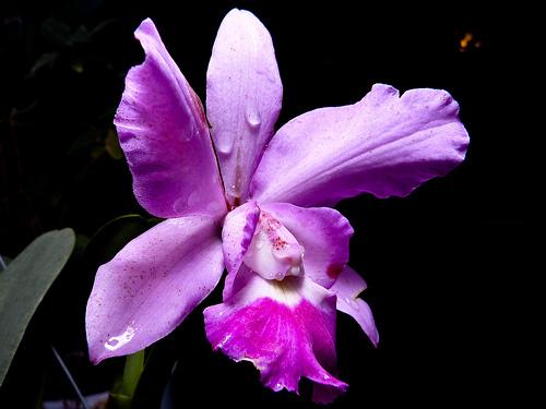 OrquiMadrid 2011 orquidea