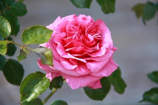 Rosa 3, Rosaleda parque del Oeste(Madrid)