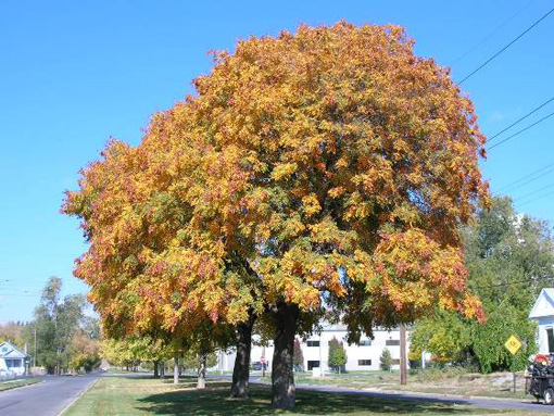 koulteria paniculata otoño