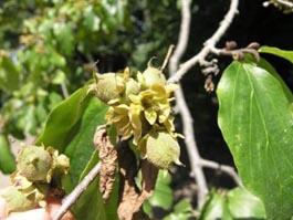 Fruto de Parrotia