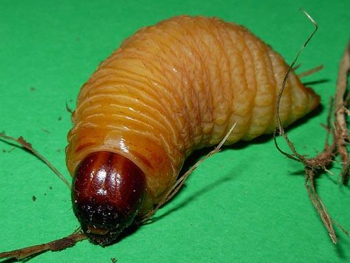Larva de picudo rojo