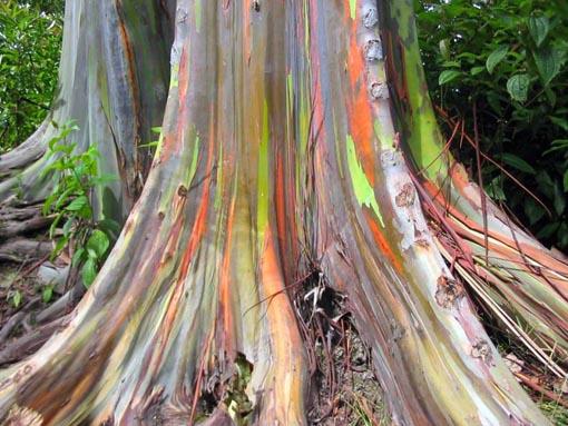 Tronco Eucaliptus deglupta