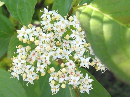 Flores de Cornus alba