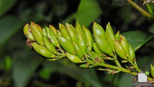 Frutos de Syringa vulgaris