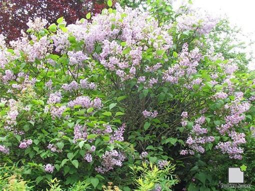 Arbusto de Syringa vulgaris