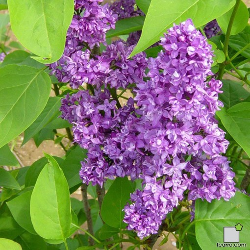 Flores de Syringa