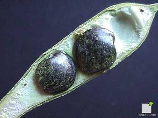 Semillas de glicinia