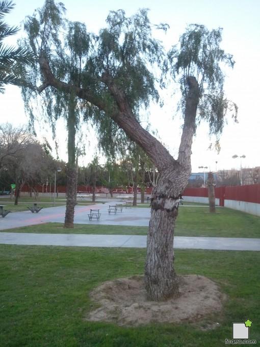 Falsa pimienta en el Parque de la Canaleta en Mislata (Valencia)