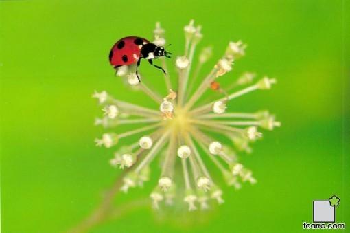 Mariquita (Coccinella septempunctata)