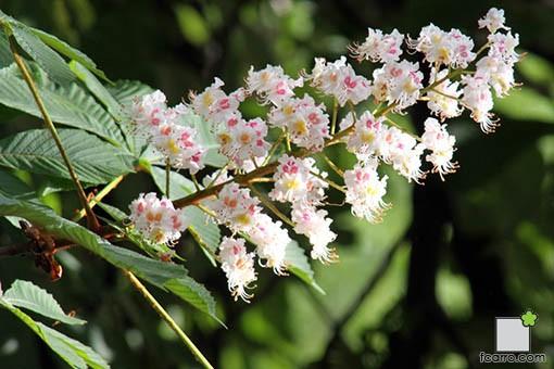Castaño de Indias. Flor.