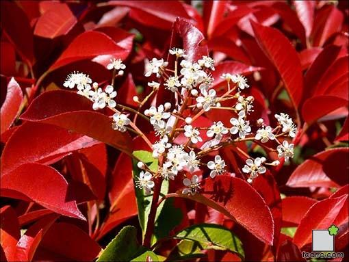 Flor photinia