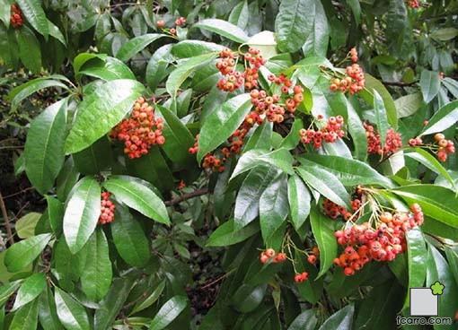 Fruto photinia