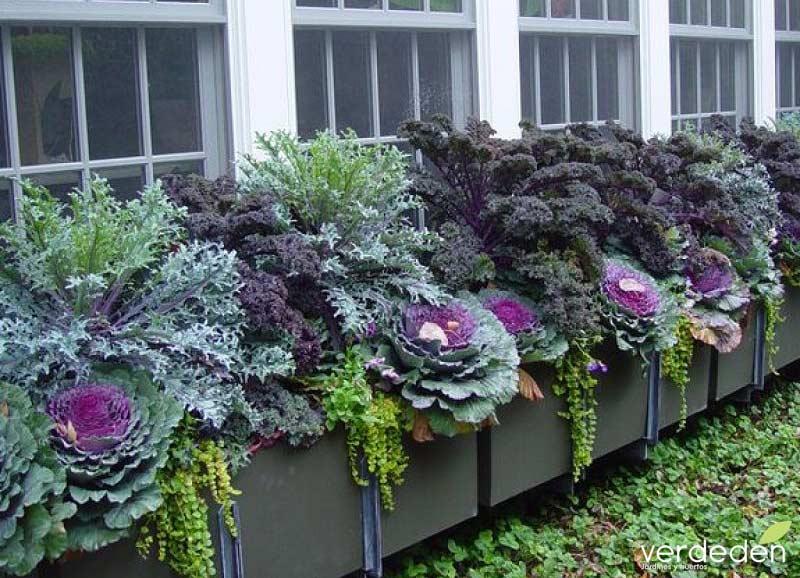 Coliflor en jardinera