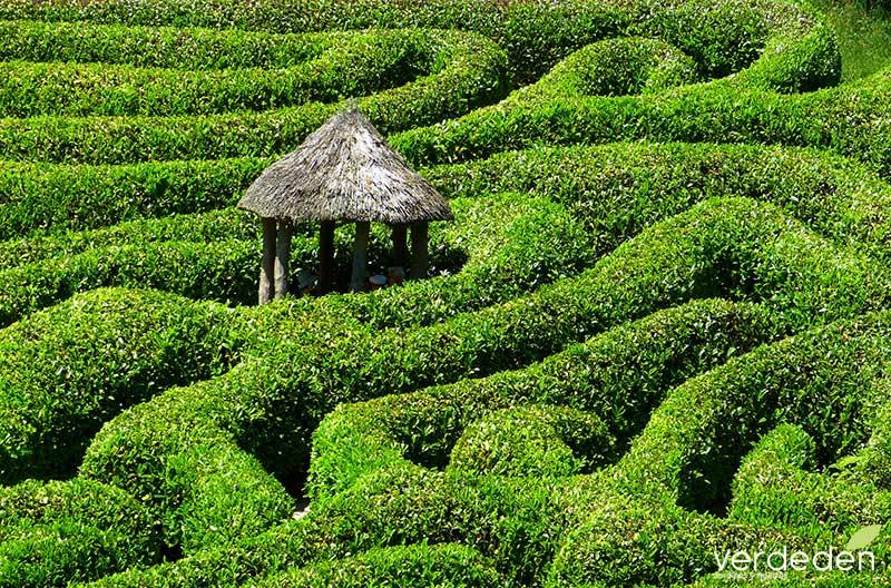 Laberinto en el jardín: Glendurgan Garden Maze, Cornwall, England