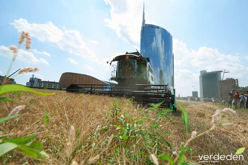 wheatfield cosechando en el centro de la ciudad