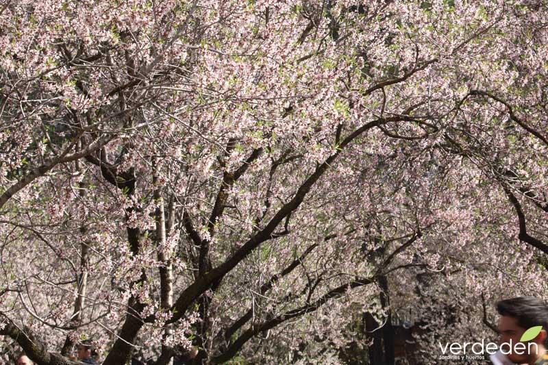 Quinta los molinos_almendro en flor