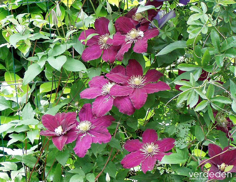 Clematis The president_flor