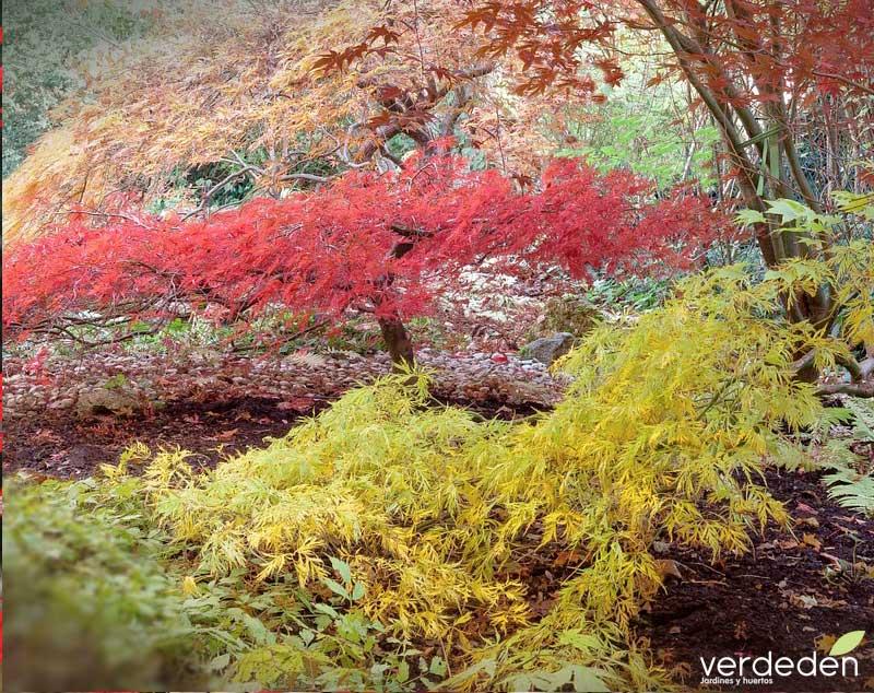 Acer palmatum o arce japonés