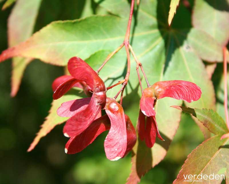 Acer palmatum_fruto